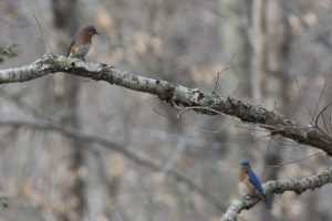 Bluebirds - mating pair